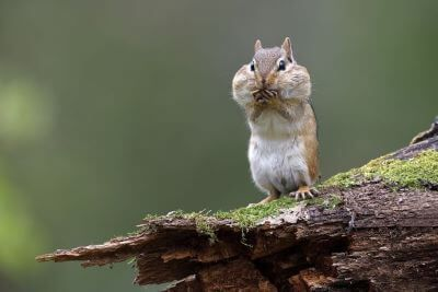 Eastern Chipmunk standing on a mossy log with its cheek pouches full of food